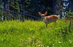 Junges Rotwildkitz in einer Waldwiese Lizenzfreie Stockfotografie