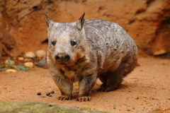 Junges südliches Haarig-gerochenes Wombat Stockfoto
