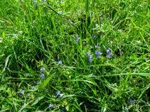 Junges saftiges Wiesengras mit kleinen blauen Blumen im Frühjahr oder Frühsommer Stockbild