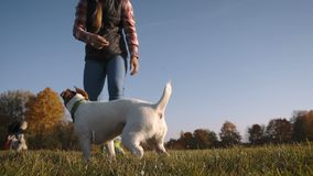 Junges schönes Mädchen, das kleinen Steckfassungsrussell-Terrier ausbildet, um Tote zu spielen stock footage
