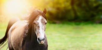 Junges schönes Pferd mit der flüssigen Mähne, die über Hintergrund der untergehenden Sonne und der Natur läuft Stockfotos