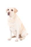 Junges schönes Sitzen des Hund (golden retriever) lokalisiert auf Weiß Lizenzfreies Stockbild