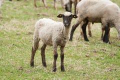 Junges Schaf schaut zu mir und zu Ihnen Lizenzfreie Stockfotografie