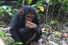 Junges Schimpansesitzen Stockfoto