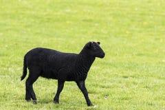 Junges schwarzes gehörntes Lamm, das rechts geht Stockfoto