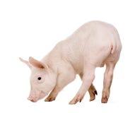 Junges Schwein (+-1 Monat) Lizenzfreies Stockbild