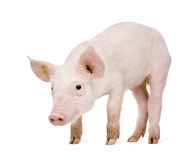 Junges Schwein (+-1 Monat) Stockbilder