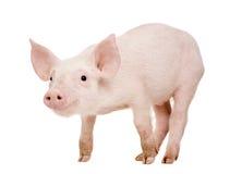 Junges Schwein (+-1 Monat) Stockfoto