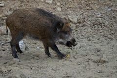 Junges Schwein stockfotos