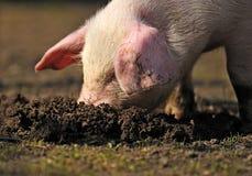 Junges Schwein Lizenzfreie Stockbilder
