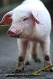 Junges Schwein Stockfotografie
