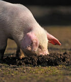 Junges Schwein Lizenzfreie Stockfotos