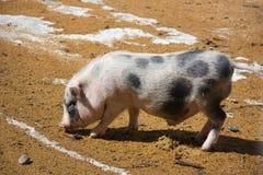 Junges Schwein Stockfoto