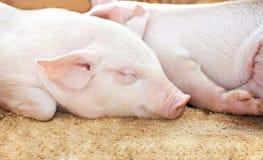 Junges Schwein in der Halle Stockbilder