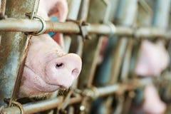 Junges Schwein in der Halle Stockbild