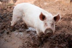 Junges Schwein in einem Schweinestall mit einer schmutzigen Mündung lizenzfreie stockfotografie