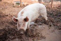 Junges Schwein in einem Schweinestall mit einer schmutzigen Mündung stockbilder