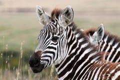 Junges Serengeti-Zebra lizenzfreie stockbilder