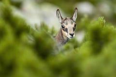 Junges Sämischleder (Lat Rupicapra Rupicapra) hinter Kniebauholz Lizenzfreies Stockfoto