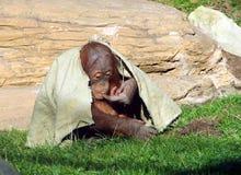 Junges Sumatran-Orang-Utan Pongo abelii, das unter einem Stoff sich versteckt Lizenzfreies Stockfoto