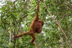 Junges Sumatran-Orang-Utan Pongo abelii, das von einem Baum in Nationalpark Gunung Leuser, Sumatra, Indonesien schwingt Lizenzfreie Stockfotografie