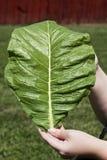 Junges Tabakblatt in voller Länge Stockfotos
