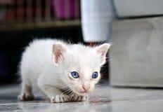 Junges thailändisches Kätzchen Stockbilder