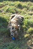 Junges Tigerjungsspielen lizenzfreie stockfotografie