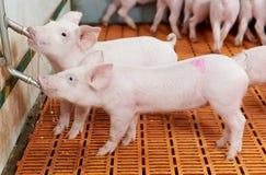 Junges trinkendes Ferkel am Schweinezuchtbetrieb Lizenzfreie Stockfotos
