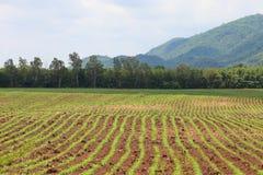 Junges und frisches Trieb des Maisfeldes im Tal umgeben durch Gebirgshintergrund lizenzfreie stockfotografie