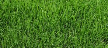 Junges, ungeschnittenes Gras Stockfoto