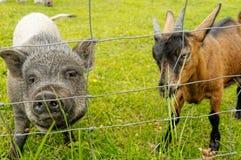 Junges vietnamesisches Schwein und junge Ziege, die Freunde macht Lizenzfreie Stockfotografie
