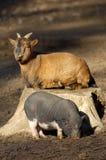 Junges vietnamesisches Schwein und Ziege Stockfotos