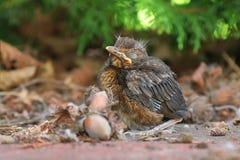 Junges Vogelbaby sittin aus den Grund Stockbild