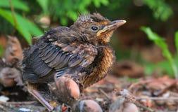 Junges Vogelbaby sittin aus den Grund Lizenzfreies Stockfoto