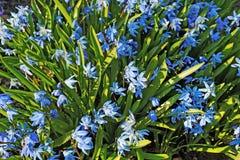 Junges Wachstum der Glockenblumeblume im Garten Lizenzfreie Stockfotografie
