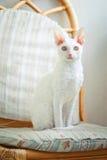 Kornisches Rex Kätzchen, das Fotografen betrachtet Stockfotografie
