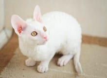 Kornisches Rex Kätzchen, das recht schaut Stockbilder