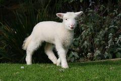 Junges weißes Lamm Lizenzfreies Stockfoto