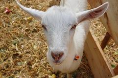 Junges weißes Ziegeportrait Lizenzfreies Stockbild