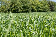Junges Weizenfeld Stockfotos