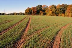 Junges Weizenfeld des Herbstes mit Traktorbahnen Lizenzfreie Stockfotos