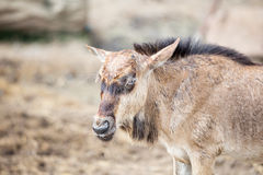 Junges Wilderbeest Stockbild
