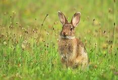 Junges wildes Kaninchen Lizenzfreies Stockfoto