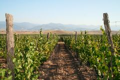 Junges wineyard in der schönen Landschaft Stockbilder