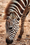 Junges Zebra stockfotos