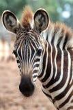Junges Zebra Lizenzfreies Stockfoto