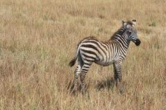 Junges Zebra Lizenzfreies Stockbild