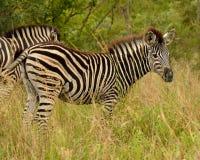Junges Zebra, das in der Wiese steht stockfotografie