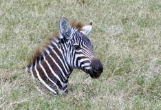 Junges Zebra im Gras Nett! stockbilder